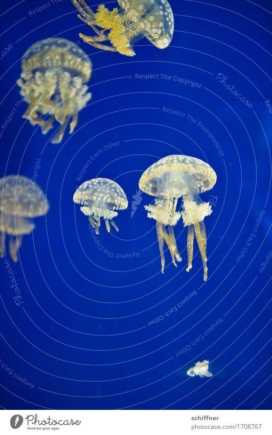 Ziemlich beste Freunde | from outta space XII blau weiß Tier gelb Schwimmen & Baden Tiergruppe Schweben Schwarm Aquarium Qualle Tentakel