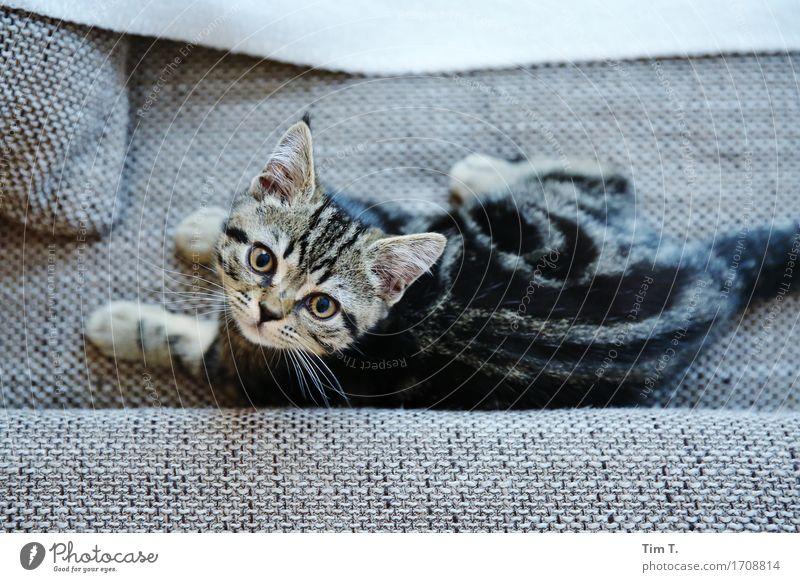 Stubentiger Tier Haustier Katze Tiergesicht Fell 1 Tierjunges Fürsorge Hauskatze Sofa Erholung Farbfoto Innenaufnahme Menschenleer Tag Rückansicht