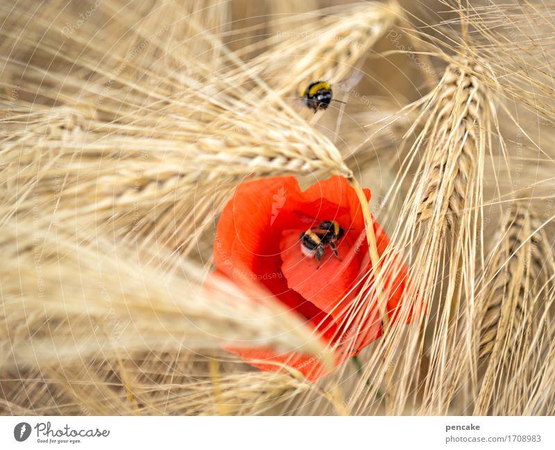 kein mohntag wie der andere Natur Sommer rot Tier gelb Bewegung Gesundheit träumen Feld Ernährung Idylle Energie Kultur Schönes Wetter Partnerschaft Biene