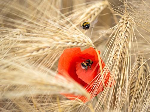 kein mohntag wie der andere Natur Sommer Schönes Wetter Nutzpflanze Feld Tier 2 Bewegung Partnerschaft Energie Gesundheit Idylle Kultur Sinnesorgane träumen