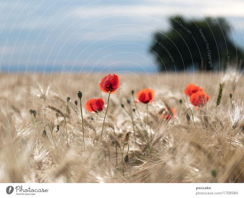mohntag am freitag Natur Landschaft Pflanze Urelemente Himmel Sonne Sommer Feld Leben Mohn Landwirtschaft Schwäbische Alb Roggen Roggenfeld Getreide