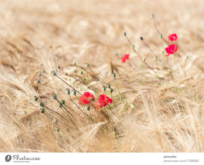 mohntag am samstag Natur Sommer schön Landschaft Erholung Umwelt Lebensmittel Erde Idylle Wellness Gelassenheit Getreide Bioprodukte Mohn Reichtum Brot