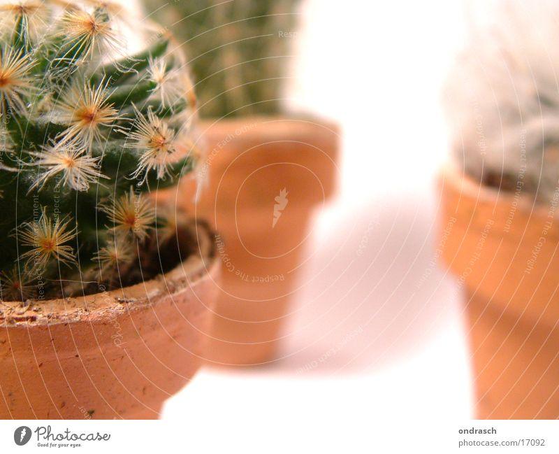 Kaktusse  =)) Pflanze Fenster Raum Wüste trocken Kaktus Stachel Sukkulenten Nachttopf