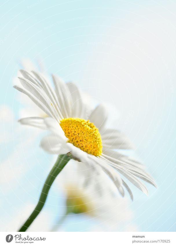 la marguerite Natur schön Himmel weiß Blume Pflanze Sommer ruhig gelb Erholung Stil Blüte Frühling hell Design frisch