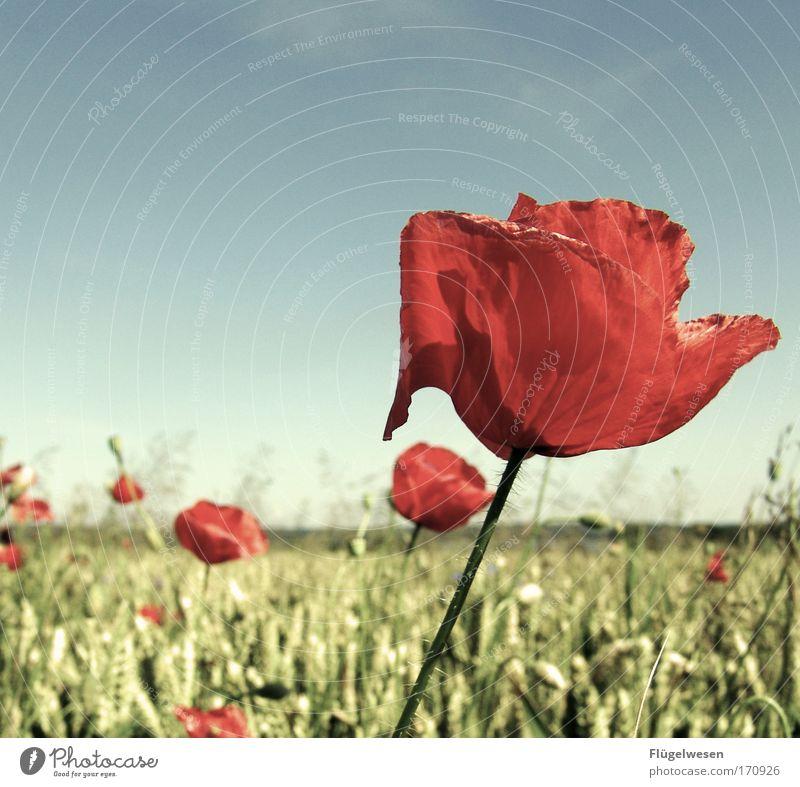 Mo(h)ndlandschaft Natur schön Blume Pflanze Tier Wiese Blüte Landschaft Feld Umwelt Ausflug Blühend Mohn Weizen Grünpflanze komplex