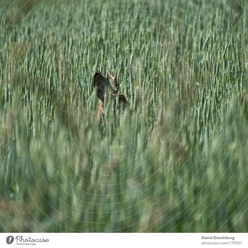 Versteckspiel Natur grün Sommer Pflanze Tier Landschaft Umwelt Kopf Feld Wildtier Ohr verstecken Horn Kornfeld Reh Grünpflanze