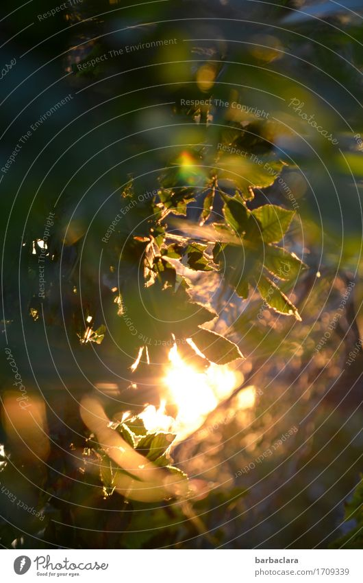 billich | Sonnenenergie Pflanze Urelemente Sträucher Blatt Garten leuchten hell Stimmung Warmherzigkeit Energie Kraft Natur Umwelt Farbfoto Außenaufnahme Muster