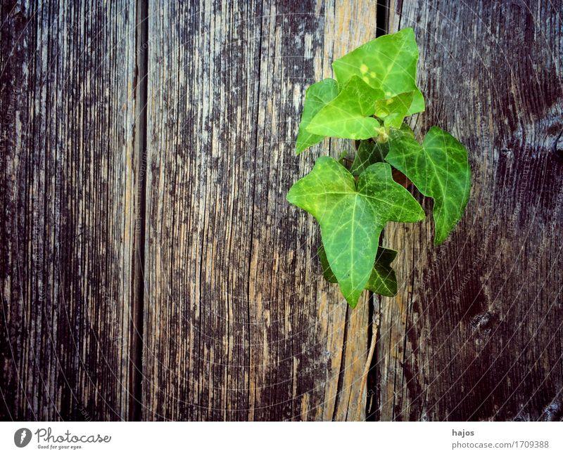 Efeu an altem Brett Pflanze grün Ranker Kletterpflanzen grün alt Schiffsplanken Tür Hintergrundbild Textraum Freiraum Farbfoto Außenaufnahme Textfreiraum links