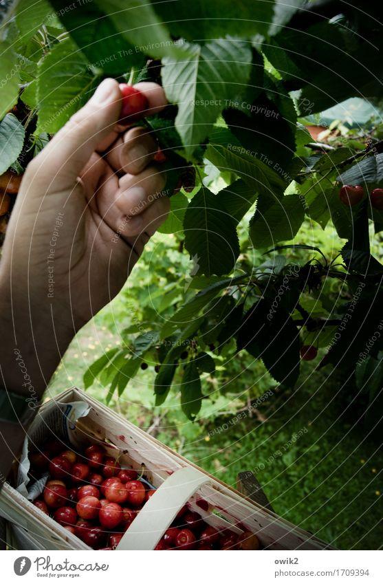 Frisch vom Baume Hand Finger Umwelt Pflanze Sommer Klima Schönes Wetter Blatt Kirsche Spankorb Arbeit & Erwerbstätigkeit genießen Erfolg achtsam gewissenhaft