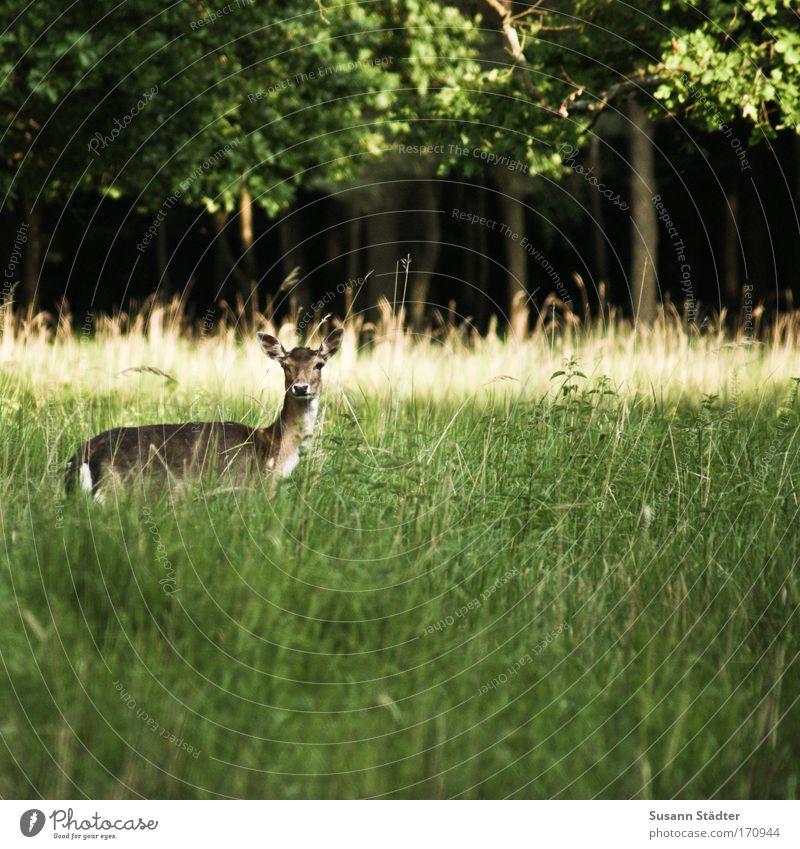 Ein Rehlein Steht im Walde II Farbfoto Menschenleer Textfreiraum rechts Textfreiraum oben Textfreiraum unten Tag Schatten Kontrast Reflexion & Spiegelung