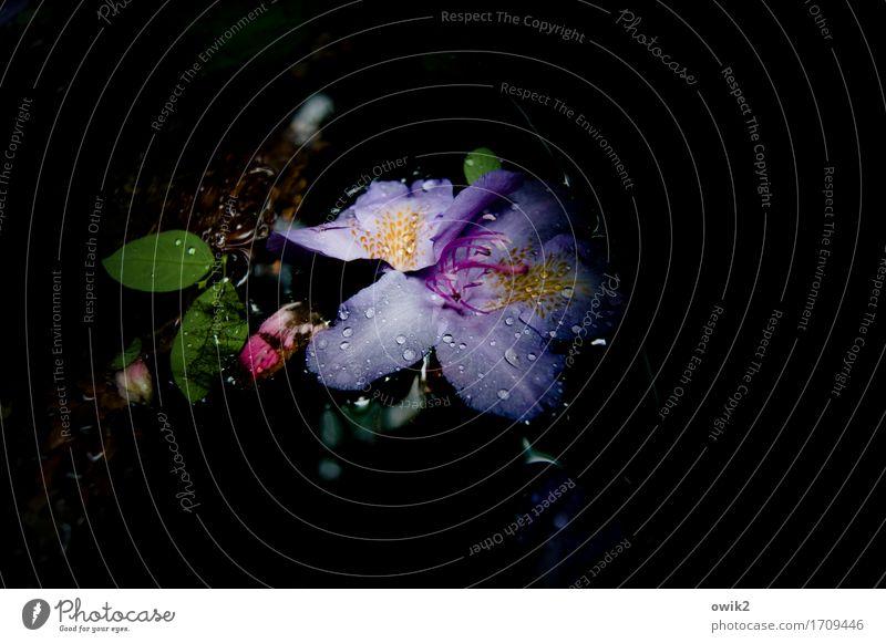 Ruhig dahin Umwelt Pflanze Wasser Wassertropfen Blatt Blüte dunkel frei nass Gelassenheit geduldig ruhig Traurigkeit Sorge Trauer geheimnisvoll Hoffnung Idylle