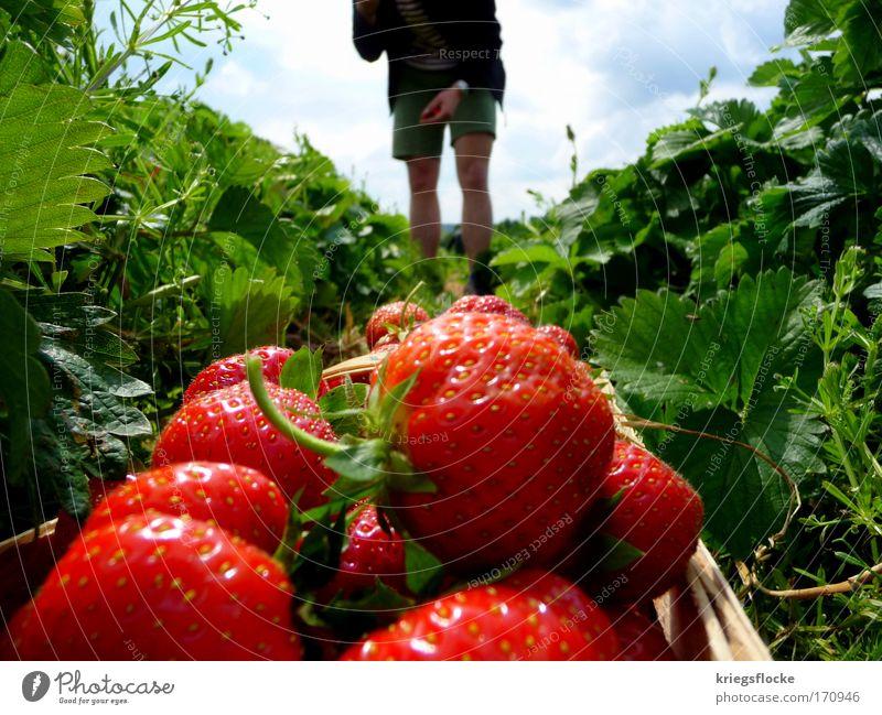 Ich liebe es! rot Sommer Ernährung Feld glänzend Frucht frisch Ernte Versuch Erdbeeren pflücken Feldarbeit Obstkorb Erntehelfer