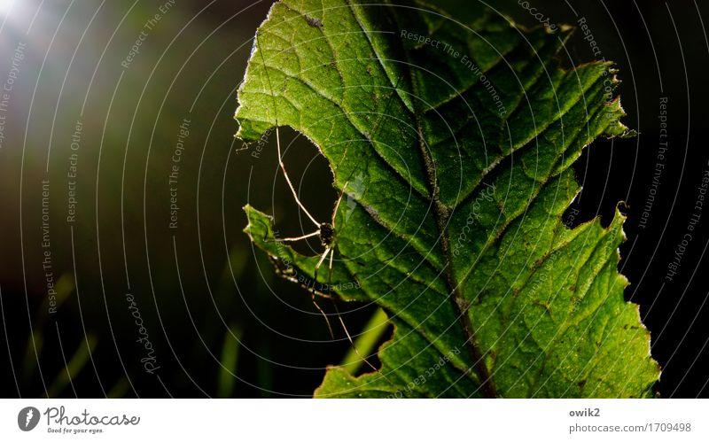 Feierabend Umwelt Natur Pflanze Tier Schönes Wetter Wärme Blatt Spinne Weberknecht 1 krabbeln warten dünn natürlich grün Zufriedenheit Sicherheit Schutz
