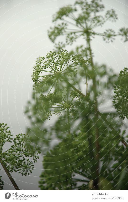 Kraut Farbfoto Außenaufnahme Menschenleer Textfreiraum links Tag Unschärfe Schwache Tiefenschärfe Umwelt Natur Pflanze Sommer schlechtes Wetter Nebel Blüte