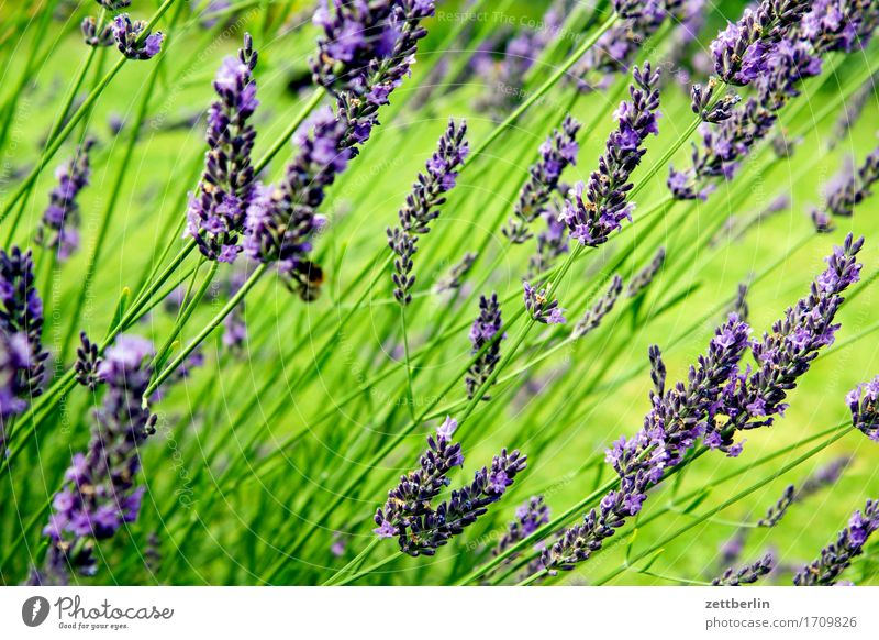 Lavandula aromatisch Blume Blühend Blüte Dekoration & Verzierung Garten Kräuter & Gewürze Gras Heilpflanzen Schrebergarten Menschenleer Rasen Sommer
