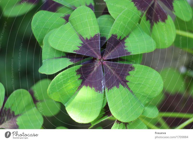 Glücksklee Natur Pflanze Tier Sommer Schönes Wetter Gras Blatt Grünpflanze Wildpflanze Garten Wachstum Farbfoto Außenaufnahme Nahaufnahme Detailaufnahme