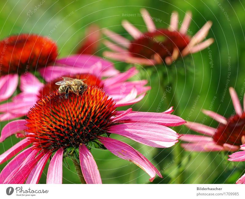 Biene auf Blüte Honigbiene Roter Sonnenhut Insekt Fluginsekt Blume Sommerblumen Blütenstauden Korbblütengewächs Blumenstrauß Blütenblatt Pollen Nektar orange