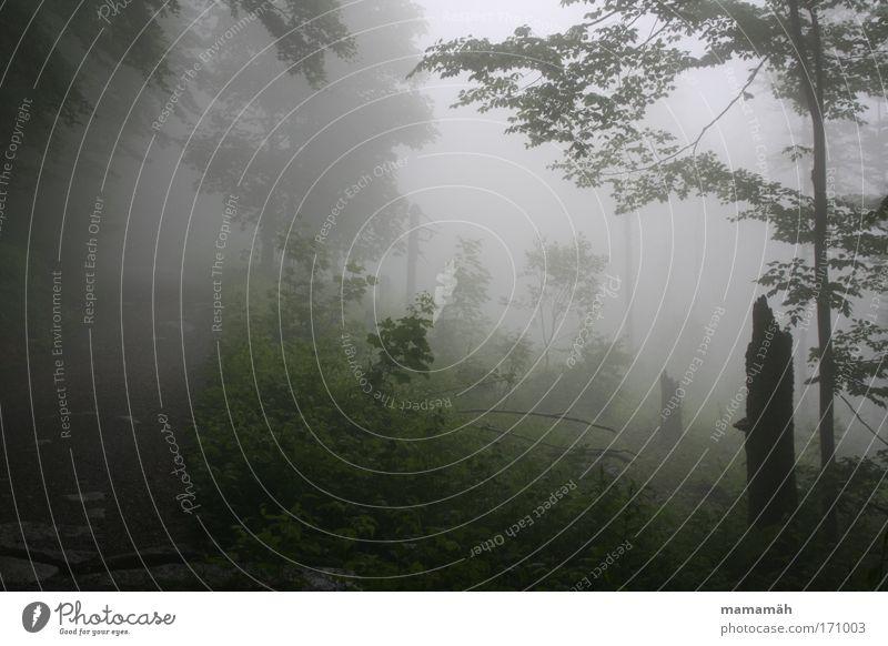Nebelspaziergang II Natur Baum grün Blatt Wald dunkel Wetter gruselig Baumstamm Moos Märchen unheimlich schlechtes Wetter Märchenwald