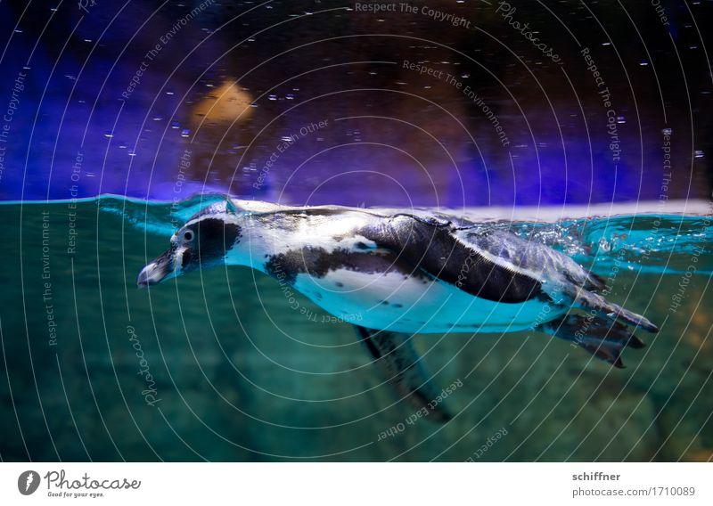 Tauchstation Tier Flügel Zoo Aquarium 1 Schwimmen & Baden Pinguin tauchen Schweben Wasser Innenaufnahme Kunstlicht Tierporträt