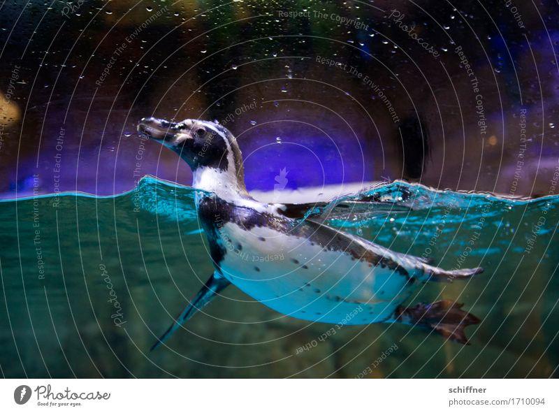 Guck guck! Tier Zoo Aquarium 1 Schwimmen & Baden schwarz Vogel Pinguin Humboldt Pinguin Wasser dunkel lustig Paddeln Innenaufnahme Dämmerung