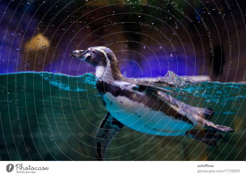 Wat? Fisch? Wo? Wasser Tier dunkel Schwimmen & Baden violett Im Wasser treiben türkis Wachsamkeit Zoo Wasseroberfläche Aquarium Pinguin