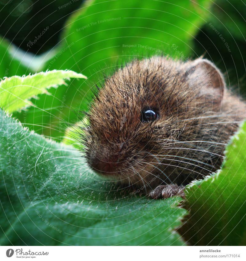 Maus im Blumenbeet Natur schön Pflanze Sommer Tier Blatt Umwelt klein Park Angst Wildtier sitzen niedlich beobachten Schönes Wetter weich
