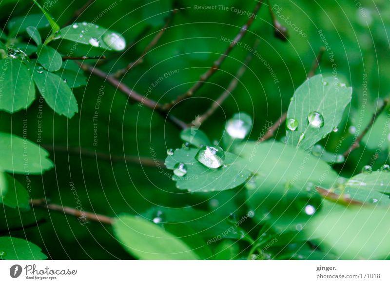 Hast du jemals den Regen gesehen? Natur Wasser grün Pflanze Blatt hell Regen natürlich Wetter glänzend frisch nass Sträucher Wassertropfen Zweige u. Äste