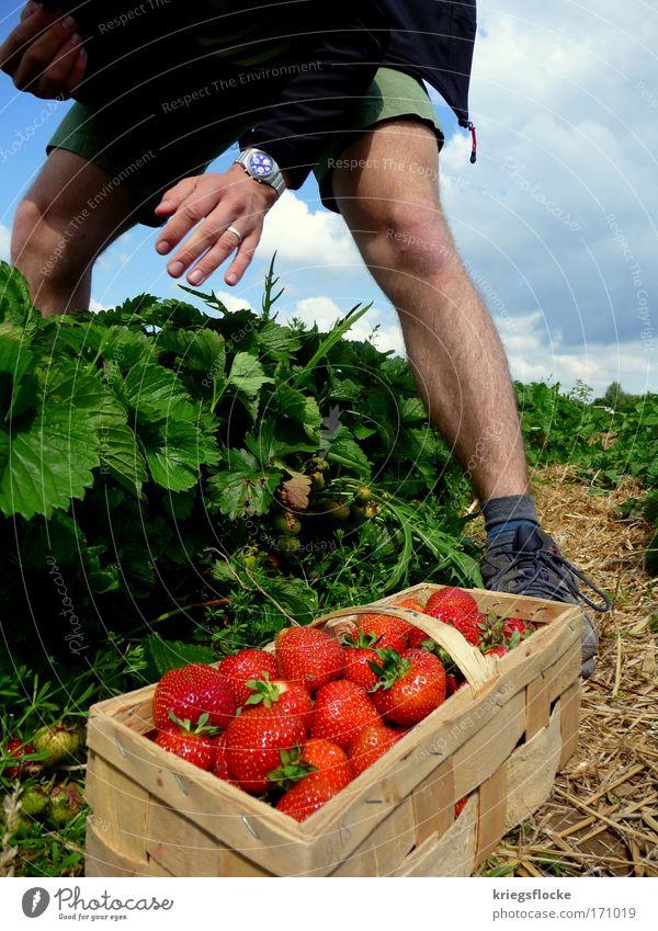 Ich pflück dich... Frucht Erdbeeren Mensch maskulin genießen rot pflücken Farbfoto Außenaufnahme Tag Männerbein Korb süß fruchtig Ernte Männerhand Ehering reif