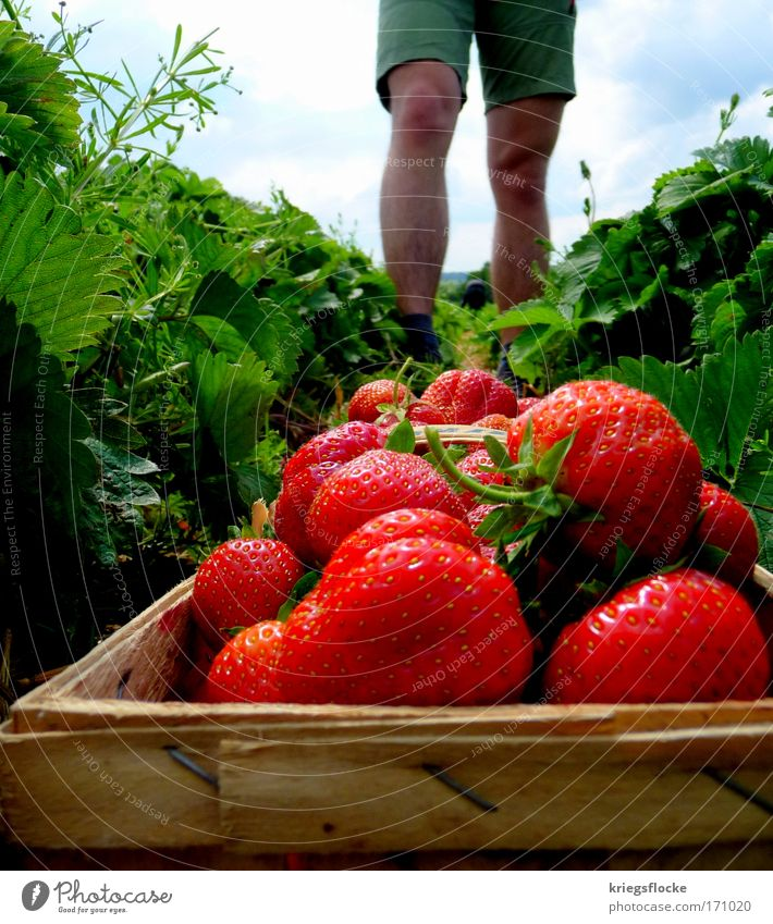 MEINE Erdbeeren!!! rot Sommer Feld Gesundheit glänzend Frucht frisch lecker Ernte Shorts saftig sommerlich pflücken Obstkorb Männerbein