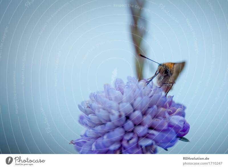 Falter Umwelt Natur Blume Blüte Tier Wildtier Schmetterling 1 Essen natürlich schön Farbfoto Außenaufnahme Nahaufnahme Detailaufnahme Makroaufnahme