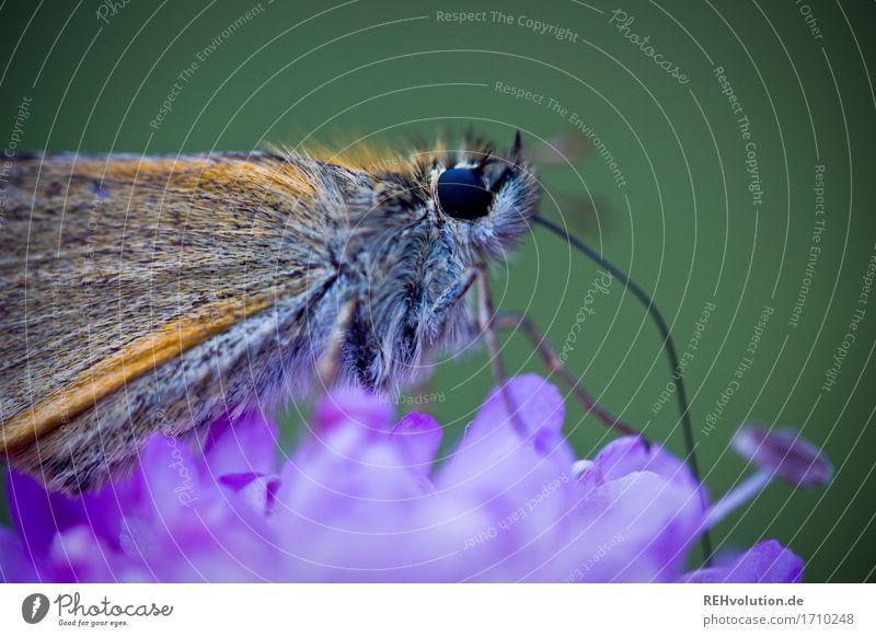 flauschiger | Falter Pflanze Blume Tier Wildtier Schmetterling klein nah natürlich schön grün violett Natur Umwelt Insekt Blüte Rüssel Farbfoto Außenaufnahme