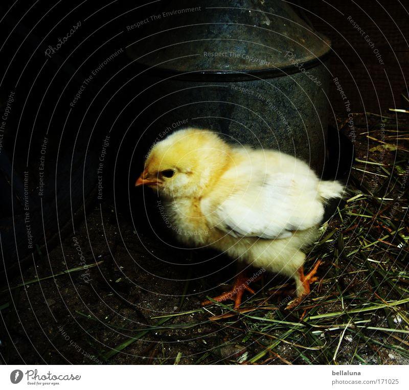 Ich wollt, ich wär ein Huhn... Freude ruhig Tier gelb Stimmung 1 Vogel Tierjunges niedlich Bauernhof Lebensfreude Wachsamkeit Schnabel Stroh geduldig Nutztier