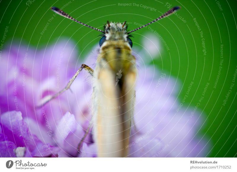 Falter Umwelt Natur Tier Blume Blüte Wildpflanze Wildtier Schmetterling 1 klein grün violett einzigartig Umweltschutz Fühler Insekt Farbfoto Außenaufnahme