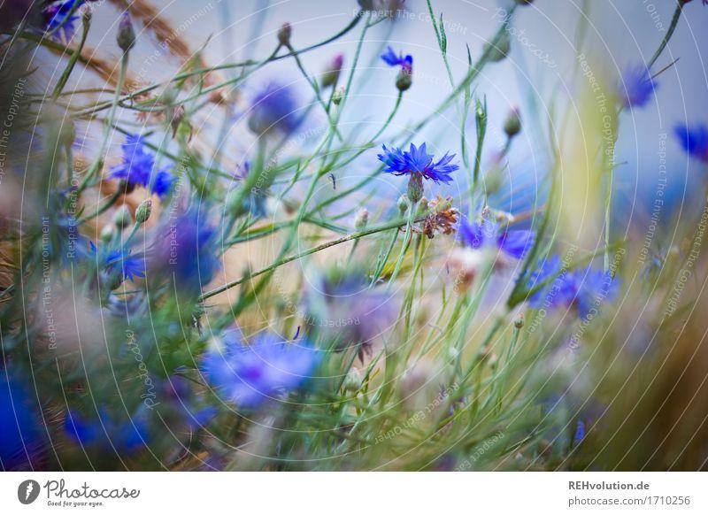 Kornblumen Umwelt Natur Pflanze Sommer Blume Feld Blühend natürlich Stimmung Farbfoto Gedeckte Farben Außenaufnahme Tag Unschärfe Schwache Tiefenschärfe