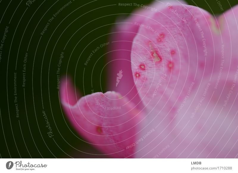 Rose mit Sommersprossen Umwelt Natur Pflanze Blume Blüte schön weich rosa Liebe Romantik Blütenblatt Punkt Fleck gefleckt Makel fehlerhaft Fehler geschwungen