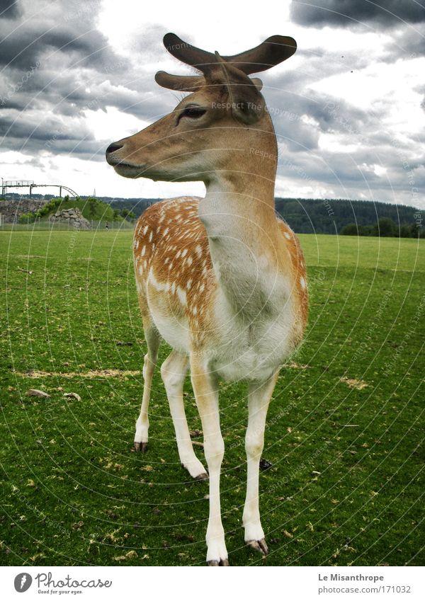 Disney's Bambi Farbfoto Außenaufnahme Tag Ausflug Umwelt Natur Gewitterwolken Frühling Gras Wiese Klotten Eifel Deutschland Tier Wildtier Zoo Hirsche beobachten