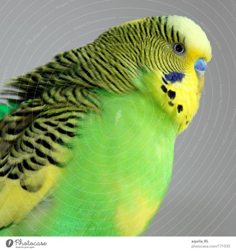 Wuchtbrumme Farbfoto Blick in die Kamera Tier Haustier Wildtier Vogel 1 Wellensittich Australien Feder Flügel Schnabel Wellenform Punkt