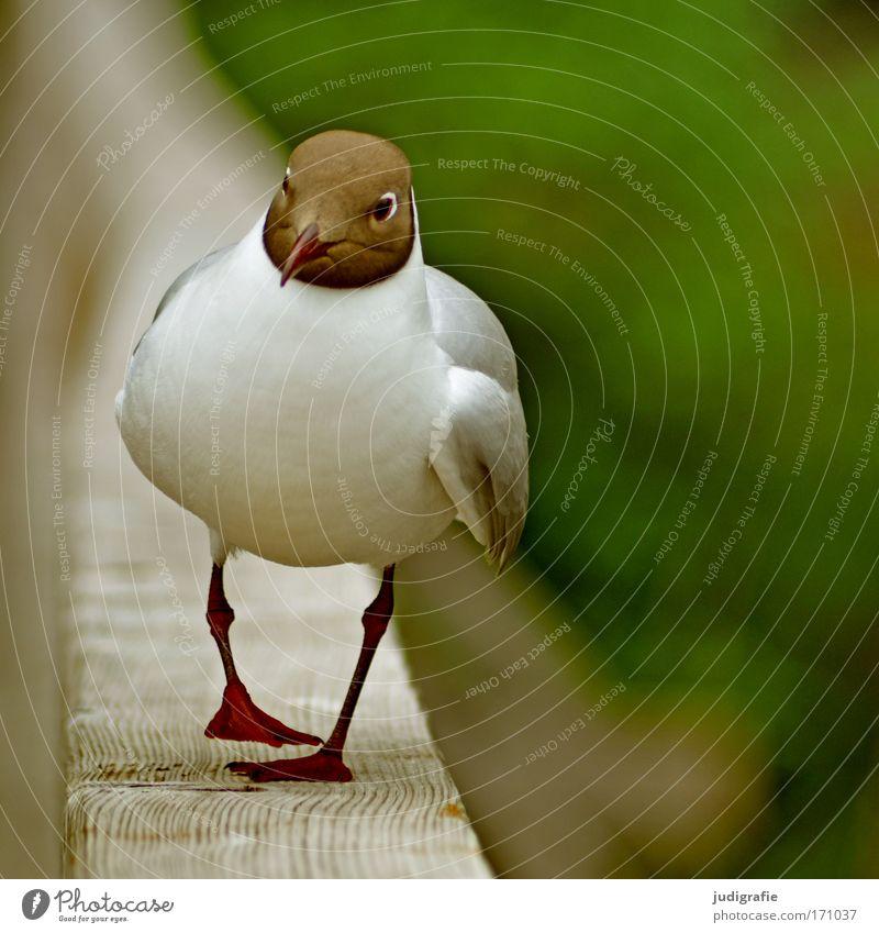 Möwe Natur Tier Wildtier Vogel 1 gehen wandern niedlich braun grün weiß Lachmöwe Spaziergang Farbfoto Außenaufnahme Tag Zentralperspektive Totale Tierporträt