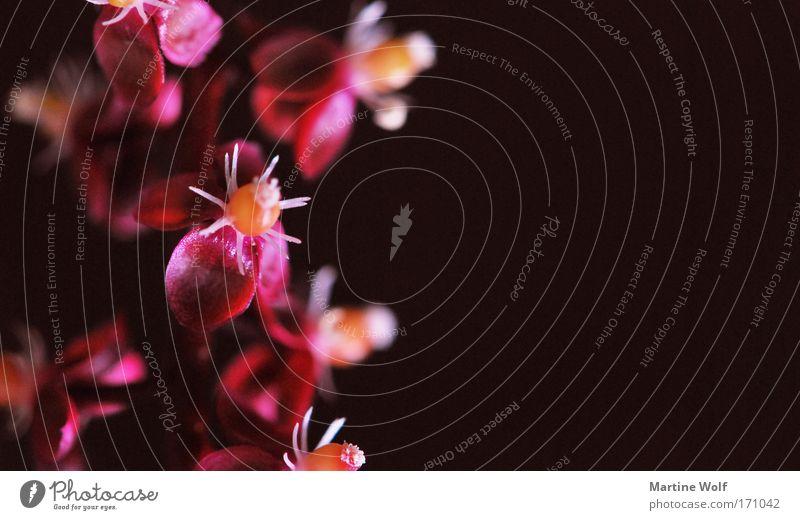 pinke pinke... Natur Pflanze Blume Blüte Blühend rosa rot schwarz Farbfoto mehrfarbig Außenaufnahme Makroaufnahme Menschenleer Textfreiraum rechts
