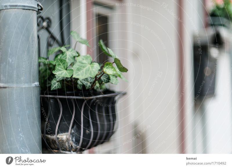 AST9 | Begrünung Pflanze Efeu Blatt Grünpflanze Topfpflanze Kleinstadt Mauer Wand Dachrinne authentisch Blumenkasten Farbfoto Gedeckte Farben Außenaufnahme