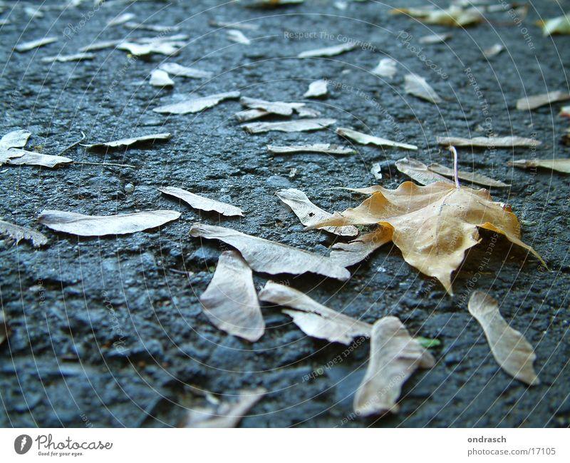 Herbstnasen Blatt Baum Aussaat Ahorn Eiche Birke Nase Straße Samen fallen Wege & Pfade liegen