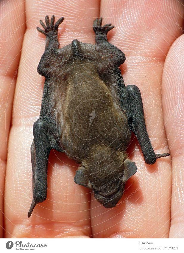 Kleiner Flieger : Zwergfledermaus_02 Natur Tier schwarz Umwelt grau braun fliegen Angst wild Wildtier Finger Fell Todesangst Jagd Hand Fressen