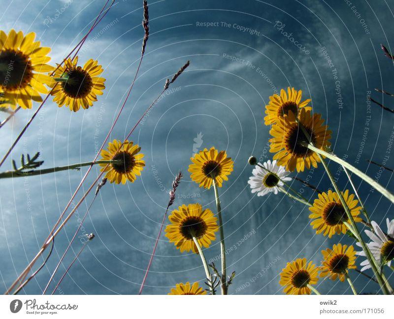 Blümchen ohne Kaffee Umwelt Natur Landschaft Pflanze Himmel Wolken Blume Blüte Margerite Wiese Blühend schaukeln Wachstum frisch schön natürlich wild blau gelb