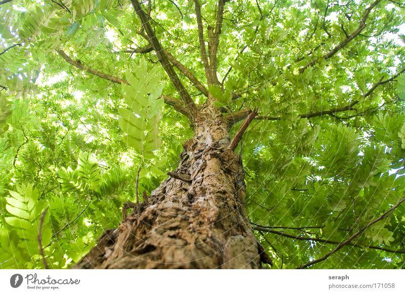 Robinie antik Atmosphäre bark verzweigt Ast Geäst Himmelszelt crown of tree Kruste filigree flora Blatt Wald Wachstum Blätterdach light Natur Vernetzung Pflanze