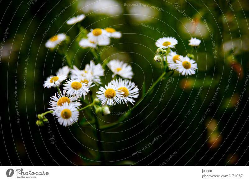 Blümsche Natur Blume Pflanze Wiese ästhetisch Gänseblümchen