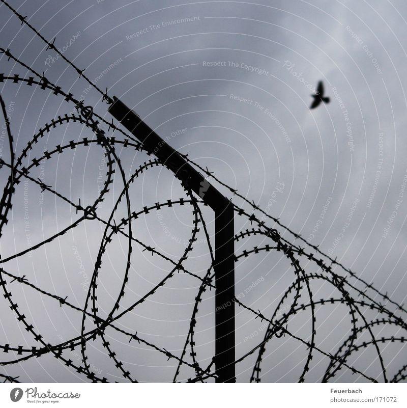 Flug in die Freiheit? Himmel Wolken Mauer Wand Vogel 1 Tier bedrohlich frei Unendlichkeit stachelig Sehnsucht Gewalt Krieg Rettung Trennung Flucht fliegen