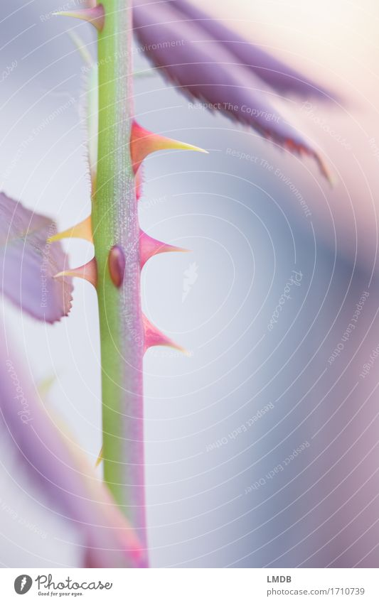 Mädchen-Lieblings-Bild Umwelt Natur Pflanze Rose Blatt Garten hell einzigartig nah verrückt Spitze stachelig mehrfarbig grün violett orange rosa weiß