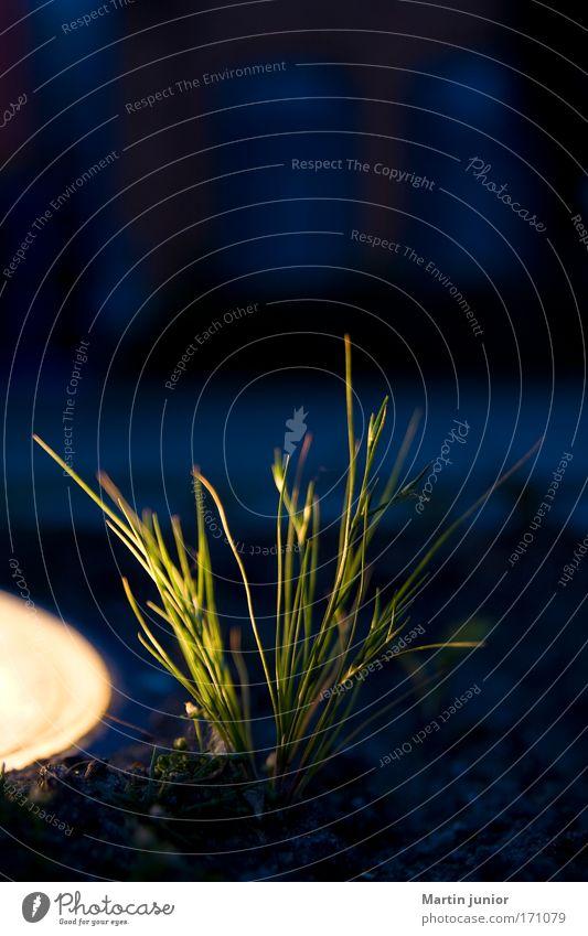 Gras sucht Licht Farbfoto mehrfarbig Außenaufnahme Nahaufnahme Textfreiraum oben Dämmerung Nacht Unschärfe Gärtner Natur Pflanze Erde Grünpflanze Wildpflanze