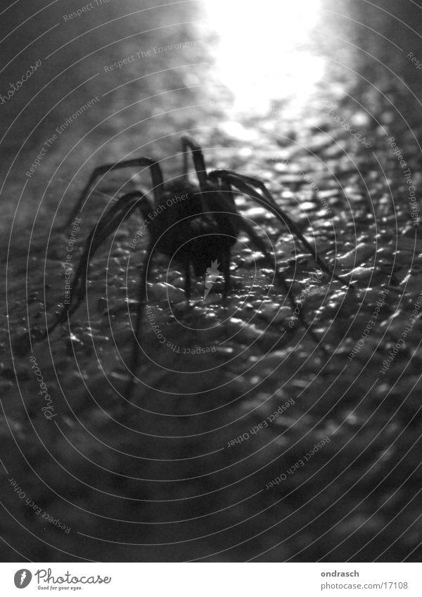 Spinne am Abend Tier Insekt gruselig Ekel dunkel krabbeln Spider Angst Silhouette Schwarzweißfoto