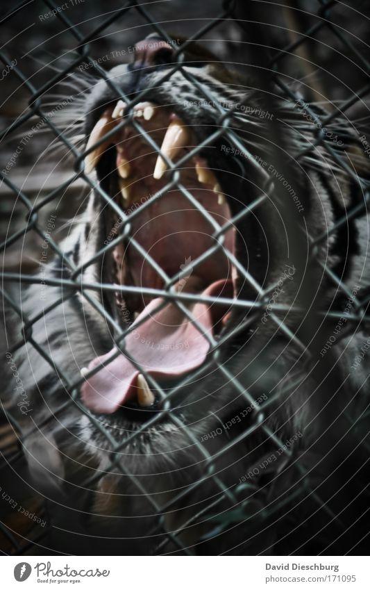 Einen starken Kaffee, bitte... Katze Natur weiß Tier schwarz Kraft Wildtier gefährlich Nase Fell Tiergesicht Gebiss Zoo Wut Zaun Müdigkeit